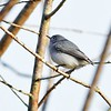 Description - Blue-gray gnatcatcher <b>Title - Kinglet</b> <i>- Harvey Mendelson</i>