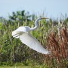 <b>Title - Great Egret in Flight</b> <i>- Bridget Lyons</i>