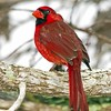 <b>Title - Northern Cardinal</b> <i>- Ed Mattis</i>