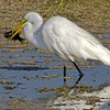 <b>Title - Great Egret with Fish</b> <i>- Ed Mattis</i>