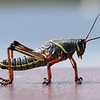 <b>Title - Juvenile Lubber Grasshopper</b> Honorable Mention <i>- Jean Dowling</i>