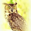 Description - Great Horned Owl <b>Title - A Glance and a Stare</b> <i>- Herbert Paul Froehlich</i>