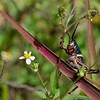 <b>Title - Young Lubber Grasshopper on the Marsh Trail</b> <i>- Diane Genneken</i>