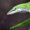 Description - Green Anole <b>Title - Lizard</b> 1st Place <i>- Harvey Mendelson</i>