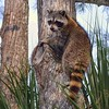 <b>Title - It's Lunchtime for the Raccoon</b> <i>- Anne Dignam</i>