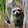 <b>Title - The Bandit Raccoon</b> Honorable Mention <i>- Anne Dignam</i>