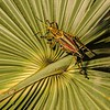 <b>Title - Lubber Grasshopper</b> <i>- Fran Swirsky</i>