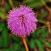 Description - Mimosa <b>Title - Purple Thistle</b> Honorable Mention <i>- Bridget Lyons</i>