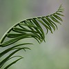 Description - Giant Sword Fern <b>Title - Unfurled</b> 1st Place <i>- Diane Genneken</i>