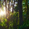 Description - Cypress Swamp <b>Title - Morning Fern</b> <i>- Grace Clarke</i>