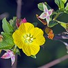 <b>Title - Peruvian Primrose Willow</b> Honorable Mention <i>- Ed Mattis</i>