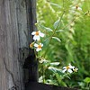 <b>Title - Spanish Needle on Fence Post</b> <i>- Cathy Patterson</i>