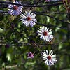 Description - Climbing Aster <b>Title - Flowers</b> <i>- Harvey Mendelson</i>