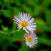 <b>Title - Climbing Aster</b> <i>- Cathy Patterson</i>