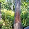 Description - Cypress Tree and Ferns on Cypress Swamp Boardwalk <b>Title - Bobcat's Scratching Post</b> <i>- Barry Mintzer</i>