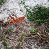 Description - Lubber Grasshopper <b>Title - BUG</b> <i>- Adam Kersten</i>