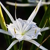 <b>Title - Alligator Lily</b> <i>- Arwen Paredes</i>