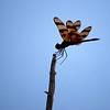 Description - Halloween Pennant Dragonfly <b>Title - Wings</b> <i>- Adam Kersten</i>