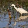 Description - Immature Little Blue Heron (White Phase) <b>Title - Little Blue Heron Reflection</b> <i>- Arwen Paredes</i>