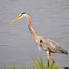 <b>Title - Great Blue Heron</b> Honorable Mention <i>- Devan Sellitti</i>