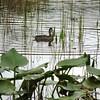<b>Title - Mottled Duck</b> <i>- Dylan Sellitti</i>