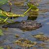 <b>Title - Mommy Alligator</b> <i>- Arwen Paredes</i>