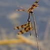 <b>Title - Halloween Pennant Dragonflies</b> <i>- Arwen Paredes</i>