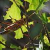 Description - Lubber Grasshopper <b>Title - Climbing Bug</b> <i>- Adam Kersten</i>