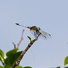 <b>Title - Blue Dasher Dragonfly</b> Honorable Mention <i>- Arwen Paredes</i>