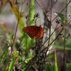 <b>Title - Gulf Fritillary Butterfly Spreading Its Wings</b> <i>- Adam Kersten</i>