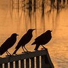 Grackles in the Sunset