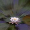 Water Lily Radial