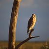Hawk in Late Afternoon Light