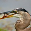 Hungry Great Blue Heron