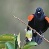 Angry Red Winged Blackbird