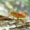 Grasshopper Resting
