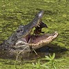 Gator with Turtle