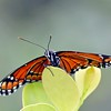 Viceroy Butterfly on Leaf
