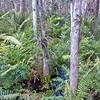 Beautiful Bromeliads in the Cypress Swamp