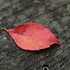 Leaf on Cypress Swamp Boardwalk