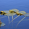 Yellow Pond Lillies