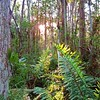 Morning Sun in the Cypress Swamp