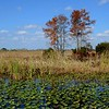 Cypress Trees and Lily Pads