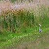 Great Blue Heron on the Levee