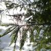 Spring Cypress