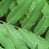 Dew on a Fern