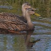 Pair of Mottled Ducks