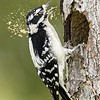 Woodpecker and Flying Sawdust