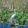 Great Egret and Great Blue Heron in Marsh