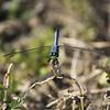 Male Eastern Pondhawk Dragonfly